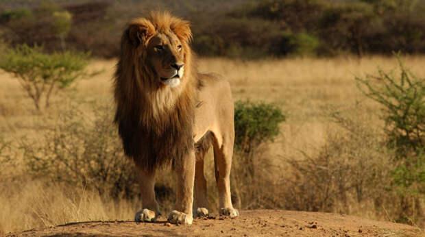 Африканский лев - царь зверей