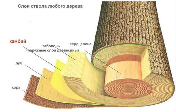 Слои дерева, схема с сайта abcplanet.ru