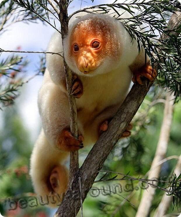 Кускус - сумчатое животное Австралии, австралийское животное