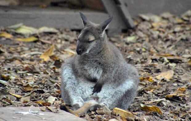 Семья кенгуру валлаби поселилась в Московском зоопарке