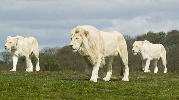 22. Белый лев кошки, природа