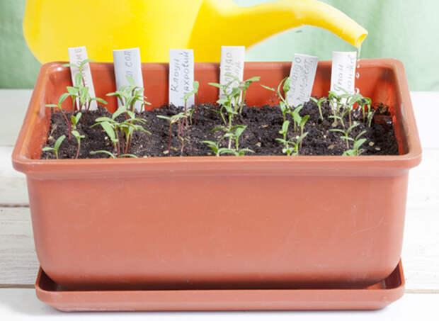 бархатцы, выращивание рассады, полив и подкормка сеянцев