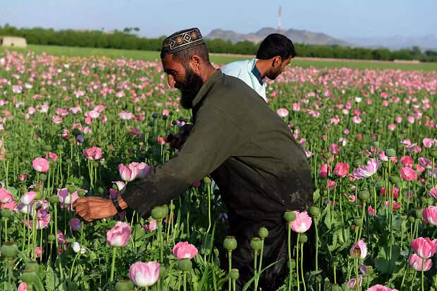 Розовый дурман: как собирают опиумный мак в Афганистане