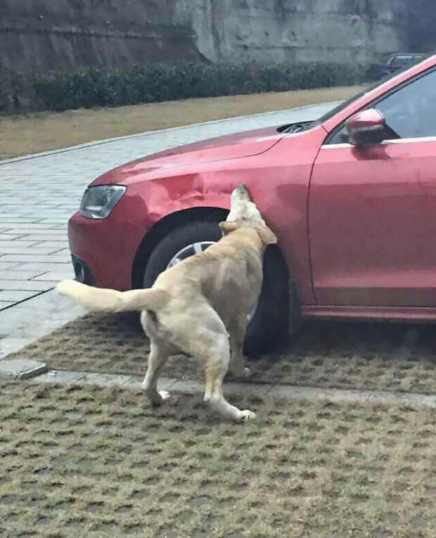 Месть четвероногих  машина, месть, собака
