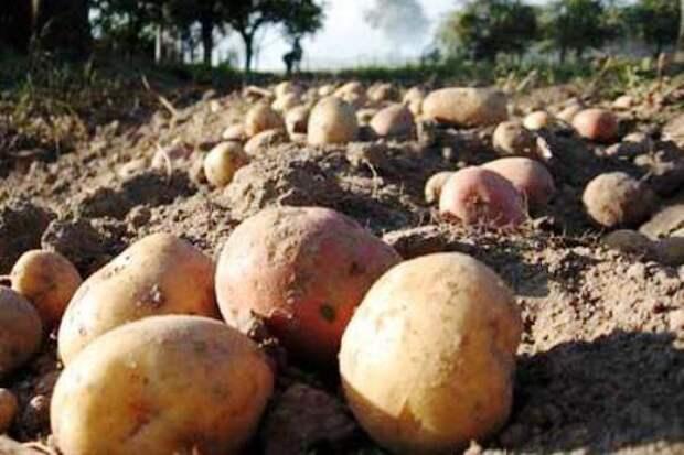 Сорта картофеля для разной почвы