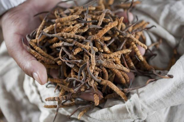 Удивительный тибетский гриб ярсагумба