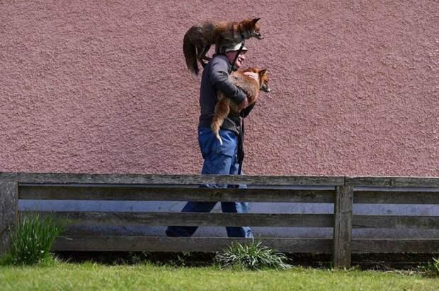 Спасенные лисята влюбились в нового хозяина и не захотели его покидать