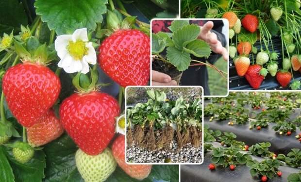 Рассада клубники фриго – как правильно посадить и выращивать в открытом грунте