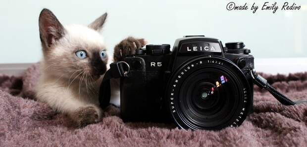Сиамские кошки. Красивые фото. Кошка с котенком