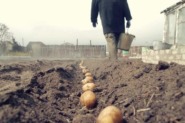 Посадка картофеля - советы садоводов