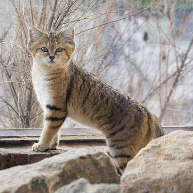 26 исчезающих диких кошек
