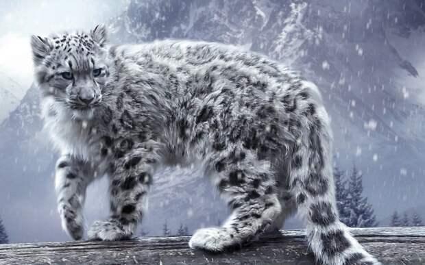 2. Снежный барс кошки, природа
