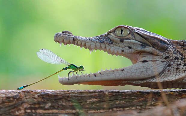 Стрекоза и крокодил