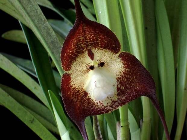 Накануне наступления Года Обезьяны в Японии устроили выставку обезьяньих орхидей