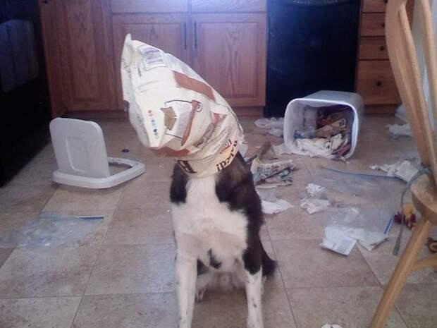 Шкодливые собачки: 10 забавных фотографий песиков, которым стало скучно!