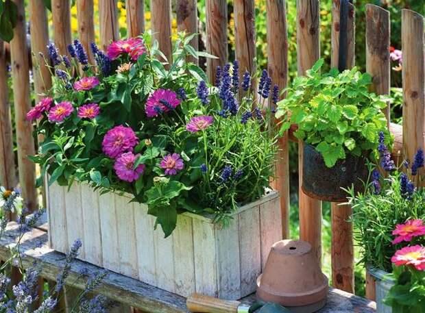 В рустикальном саду циннии просто  незаменимы, будь то клумба или деревянный ящик.