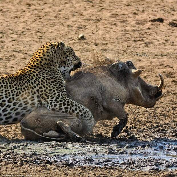 Стремительное убийство: Бородавочник сразу же очнулся ото сна и попытался вскочить на ноги, однако недостаточно быстро, чтобы сбежать от грозного леопарда бородавочник, животные, леопард, охота, природа