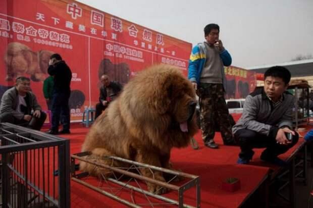 1447522703_tibetskiy_mastif_01 (700x466, 74Kb)