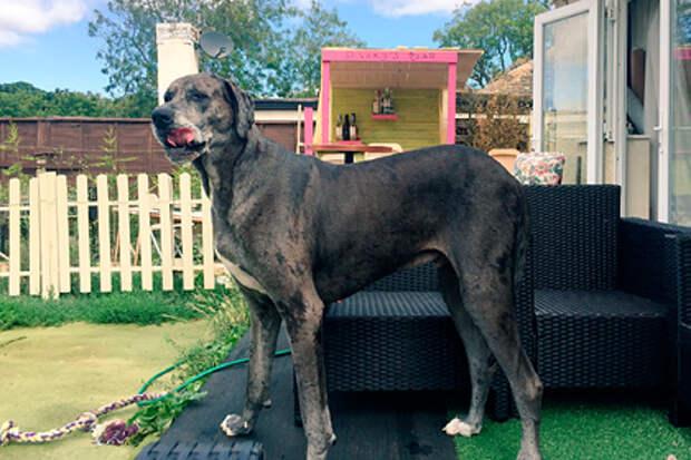 У английской собаки высокого роста новый рекорд: по возрасту