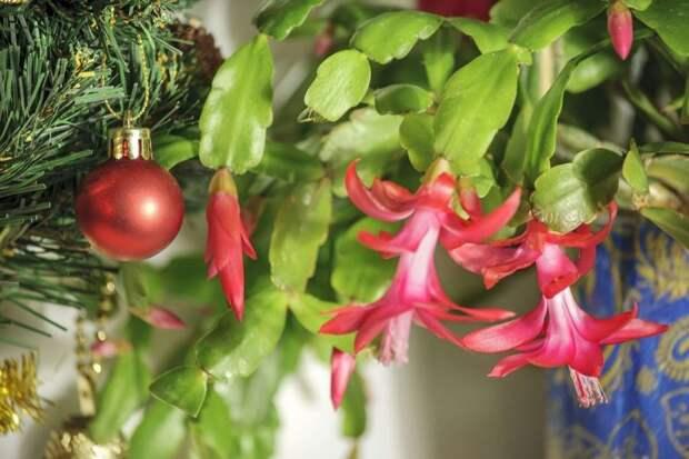 В каких домах декабрист цветет два раза