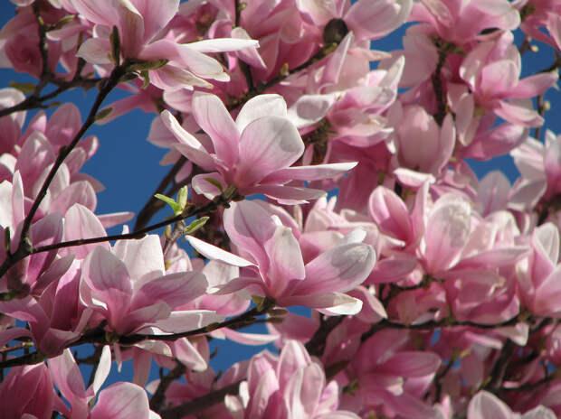 Цветущая магнолия весна, деревья, цветы