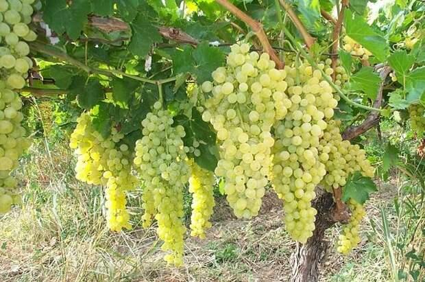 САД, ЦВЕТНИК И ОГОРОД. Советы по выращиванию винограда
