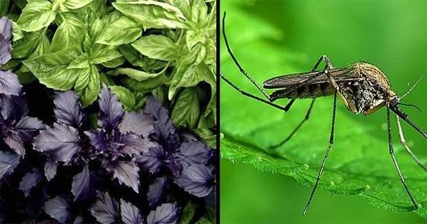 Эти 6 чудо-трав отпугивают насекомых. То, что нужно для посадки на даче