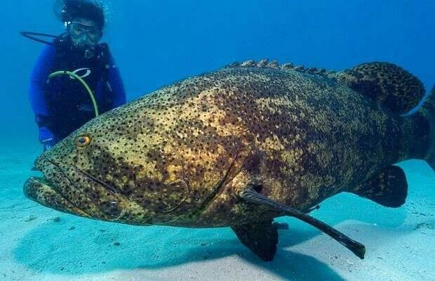 7. Атлантические гигантские груперы Опасно для жизни, морская фауна, рыбалка, рыбы