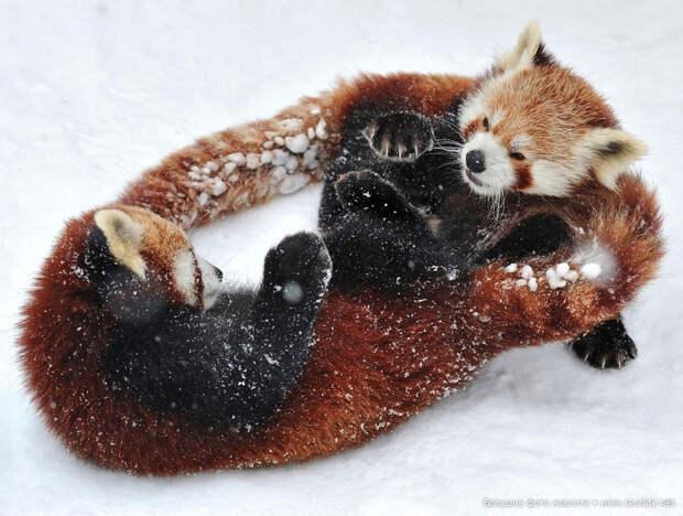Красные панды играются