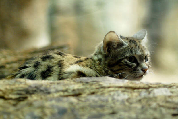 26. Черноногая кошка кошки, природа