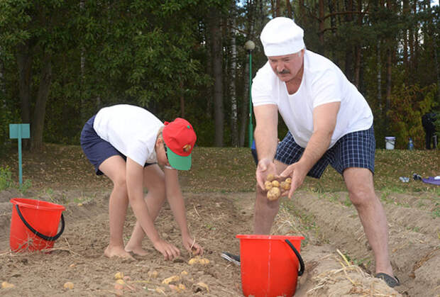Александр Лукашенко показал, как нужно собирать картошку картошка, лукашенко