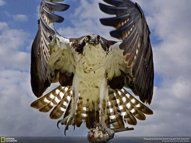 Хищная птица несет добычу в гнездо (Sandy Scott, США).