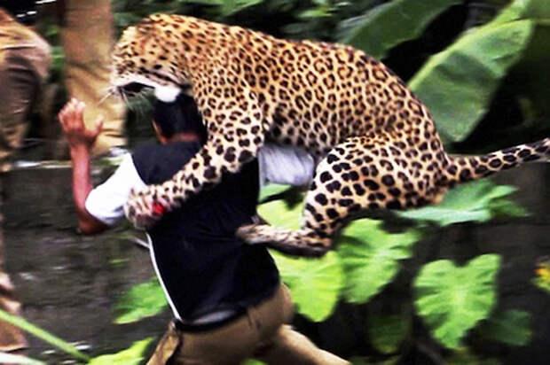 India Leopard Attack