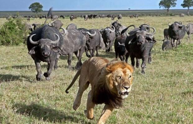 Звери на охоте животные, охота