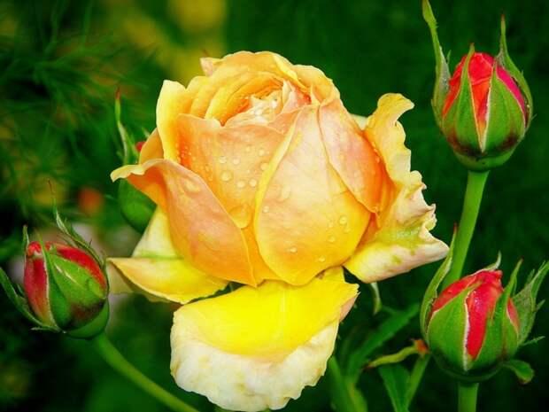 роза, бутон, цветок, листья, Липестки, шипы - (картинка, изображение, фото, обои 495881)