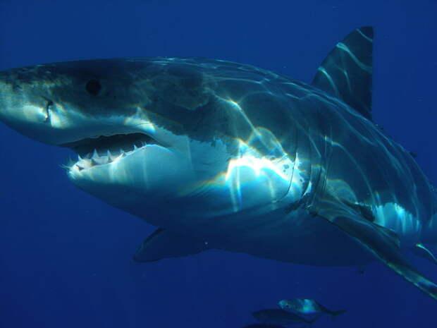 1. Да я самая обычная. Ничего особенного Белая акула, фото