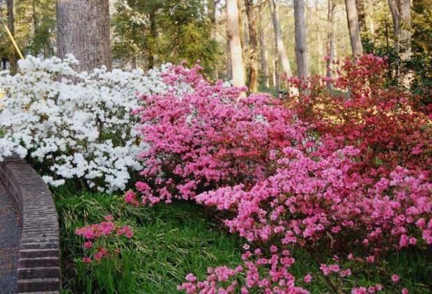 Сад кусты рододендрона