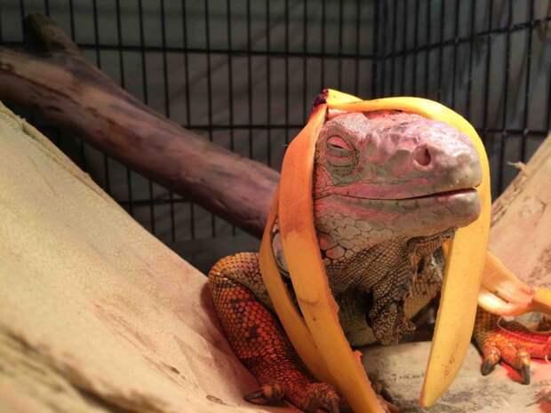 ящерица и банан