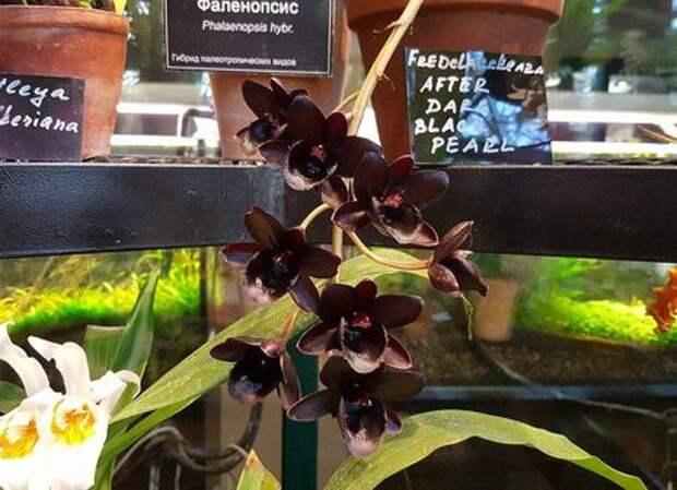 Перед Новым годом в Аптекарском огороде зацвела черная орхидея