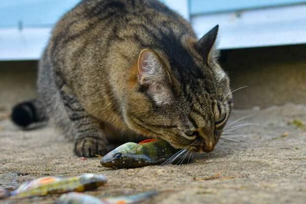 Кот ест сладкое: скачать картинки, стоковые фото Кот ест сладкое в хорошем  качестве | Depositphotos