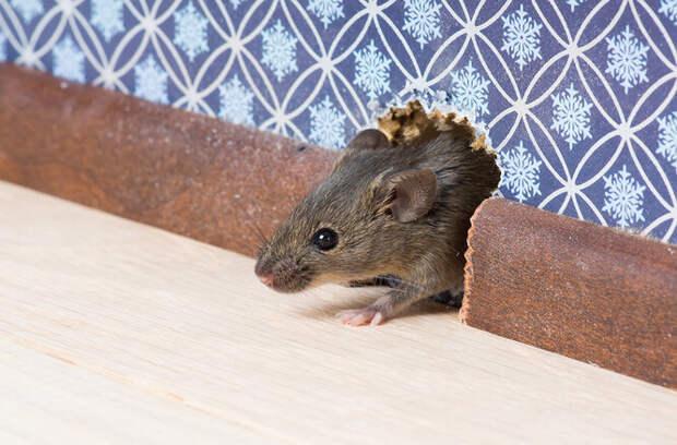 Как понять, что в вашем доме есть мыши: 6 признаков