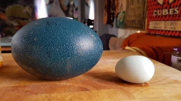 Яйцо эму vs яйцо курицы животные, инкубация, птица, результат, страус, фото, эму, яйцо