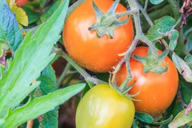 Томат: погода не помешала вырастить урожай