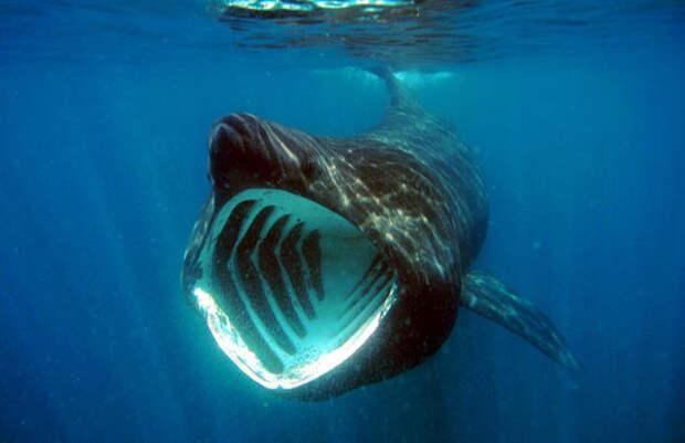 1. Гигантские, или исполинские, акулы, которые на самом деле БОЛЬШЕ по размеру, чем белые акулы - они достигают до 10 метров в длину и весят около 5 тонн! При этом они не такие мрачные, как белые акулы. акулы, животные, обожание, рыбы, факты