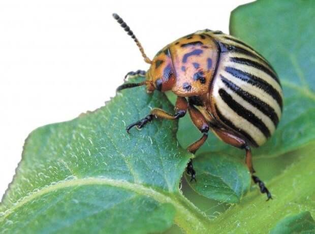 Горчица и уксус – помощники в борьбе с колорадским жуком