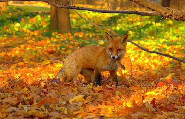 осень и животные 5 (700x452, 464Kb)
