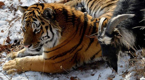 Удивительная дружба тигра и козла