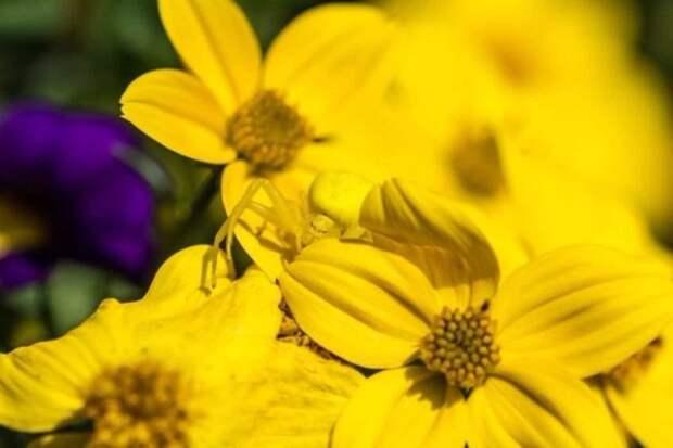 Впрочем, пауки им не уступают животные, интересное, красота, мимикрия, природа, спрятались