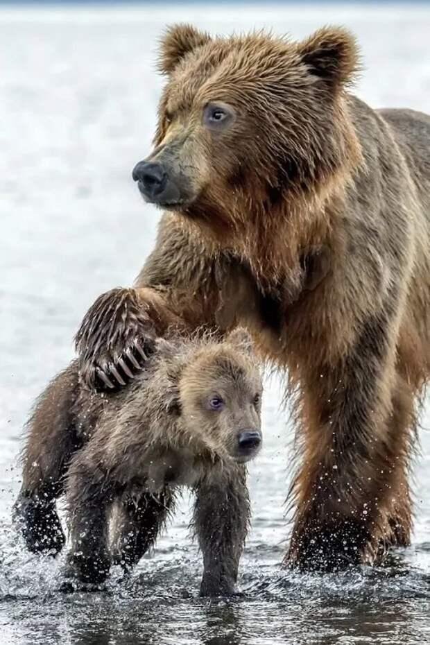 Бурые медведи детеныши, дети, животные, забота, звери