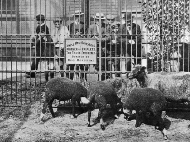4. Овцы в первом американском зоопарке животные, зоопарк